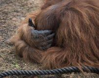 Orangutan σκέψη Στοκ εικόνα με δικαίωμα ελεύθερης χρήσης