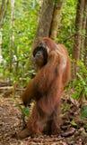 Orangutan στάσεις στα οπίσθια πόδια του στη ζούγκλα Ινδονησία Το νησί Kalimantan Μπόρνεο Στοκ Φωτογραφία