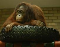 Orangutan στο ελαστικό αυτοκινήτου του Στοκ Φωτογραφία