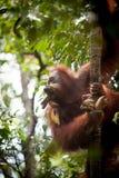 Orangutan στο tanjung που βάζει το εθνικό πάρκο Στοκ Εικόνα