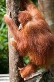 Orangutan στο tanjung που βάζει το εθνικό πάρκο Στοκ Φωτογραφίες