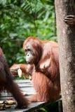 Orangutan στο tanjung που βάζει το εθνικό πάρκο Στοκ εικόνες με δικαίωμα ελεύθερης χρήσης