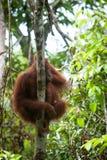 Orangutan στο tanjung που βάζει το εθνικό πάρκο Στοκ Εικόνες