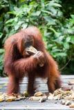 Orangutan στο tanjung που βάζει το εθνικό πάρκο Στοκ φωτογραφία με δικαίωμα ελεύθερης χρήσης