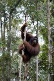 orangutan του Μπόρνεο άγρια περιοχές Στοκ Φωτογραφίες