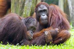 orangutan του Μπόρνεο στοκ εικόνες με δικαίωμα ελεύθερης χρήσης