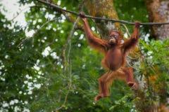 Orangutan του Μπόρνεο Στοκ Φωτογραφίες