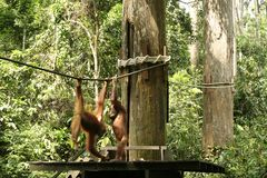 orangutan του Μπόρνεο sabah άδυτο sepilok Στοκ Φωτογραφία