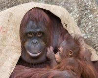 Orangutan - υπερήφανη μητέρα Στοκ Φωτογραφίες