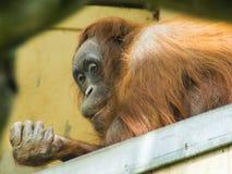 Orangutan χαλάρωσης κινηματογράφηση σε πρώτο πλάνο Στοκ φωτογραφία με δικαίωμα ελεύθερης χρήσης