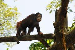 Orangutan в зверинце Сингапур Стоковая Фотография RF