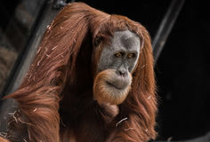 orangutan задумчивый стоковое изображение rf