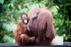 Free Orangutan Stock Photos - 100442383