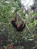 orangutan Zdjęcia Stock