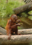 Orangutan. Young orangutan, eating and sitting on a fallen tree stock photography