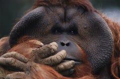 orangutan Стоковая Фотография
