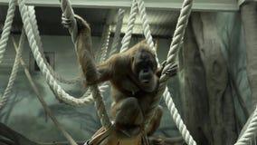 orangutan φιλμ μικρού μήκους