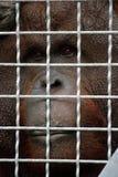 orangutan Стоковое Изображение RF