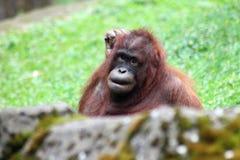 orangutan obraz stock