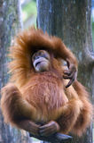 Orangutan. Relaxing on tree branch Royalty Free Stock Photos