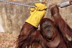 orangutan Zdjęcie Royalty Free