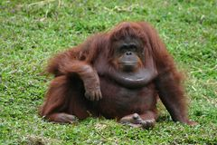 Orangutan. Posing in front of camera Stock Photography