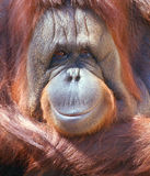 ORANGUTAN. Looking strait in camera-close up Royalty Free Stock Photo