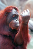 ORANGUTAN. With holding up one arm Stock Photo