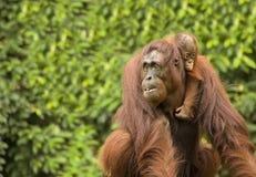 orangutan Стоковое Фото
