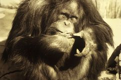 Orangutan. A sepia-toned picture of an Orangutan monkey Royalty Free Stock Images