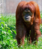 orangutan Στοκ Εικόνες