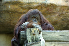 Free Orangutan Royalty Free Stock Photos - 1487988