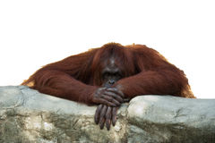 Orangutan leaning on wall. An orangutan looking over wall, bored or pondering, isolated on white background Stock Photos