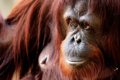 Orangutan Stock Photos