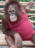Orangutan. Close up portrait of young Orangutan, Thailand Royalty Free Stock Image