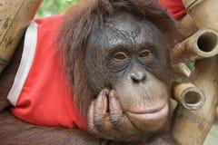 Orangutan. Close up portrait of young orangutan Stock Photos