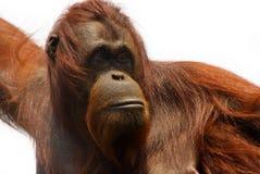 Orangutan Royalty Free Stock Image