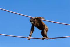 Orangutan Stock Image