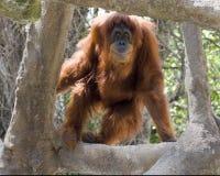 orangutan Стоковое Изображение