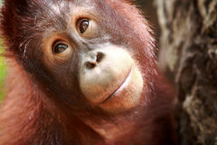 Orangutan. Portrait of a yonger orangutan in singapore zoo Royalty Free Stock Images
