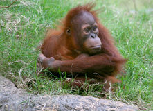 Orangutan. Lonely looking orangutan in the grass Royalty Free Stock Photos