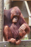 Orangutan. Female orangutan looking at feet Stock Images