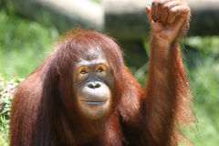 Orangutan. Smirking and raising hand Stock Photography