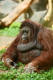 Orangutan Royalty Free Stock Images