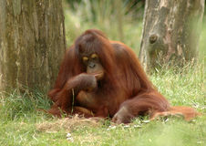 Orangutan 2. Orangutan sitting in the grass between two trees in thinking position royalty free stock images