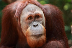 Orangutan. Portrait of a orangutan in singapore zoo Stock Images