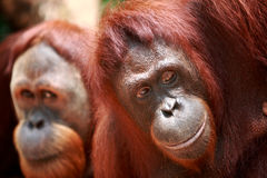 Orangutan. Portrait of orangutan in singapore zoo Stock Photography