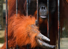 Orangutan. Requested for food from tourist Stock Images