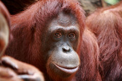 Orangutan. Portrait of a orangutan in singapore zoo Stock Photo