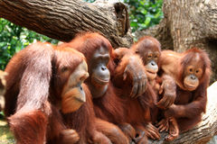Orangutan. Posing infront of camera, Singapore zoo Royalty Free Stock Photography